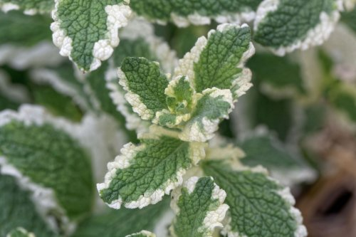 11 Types of Mint Plants for Your Garden