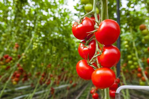 How to Grow and Care for Beefsteak Tomatoes