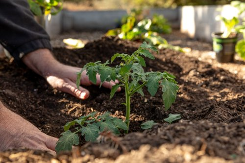 The Most Effective Way to Plant Tomatoes