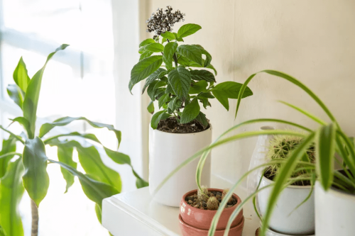 How to Grow and Care for Heliotrope Indoors