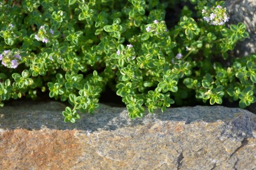 How to Grow and Care for Lemon Thyme