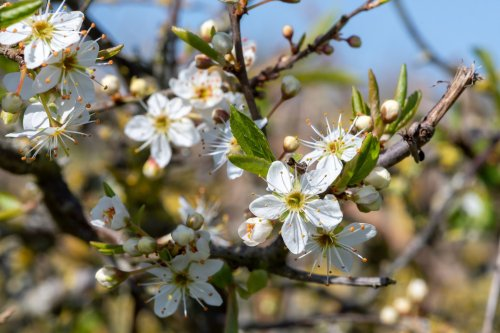 How to Grow and Care for Blackthorn