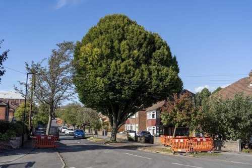 Call for action over 50ft tree towering above houses in Sheffield street