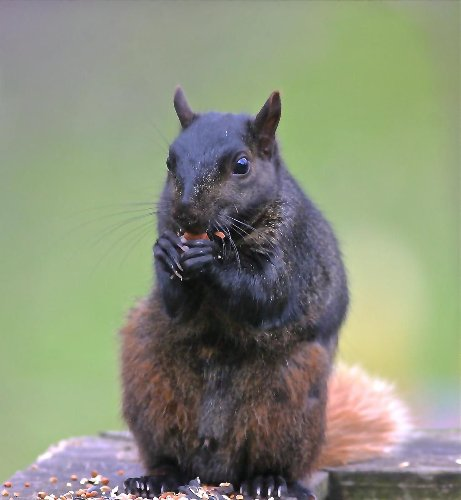 Screeching squirrels are like nature's booty call