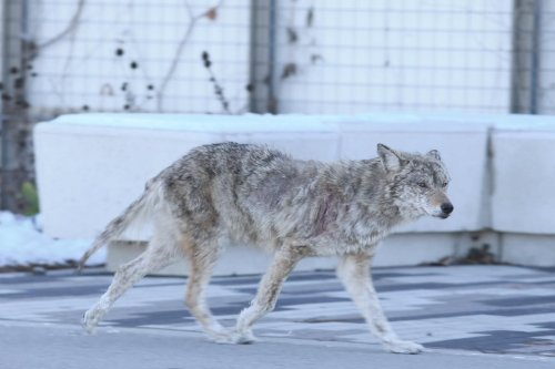 Why feeding coyotes and other wild animals is a 'disservice' to them