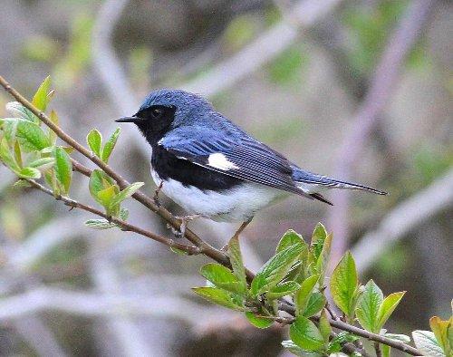 Look up! It's peak season for migrating warblers