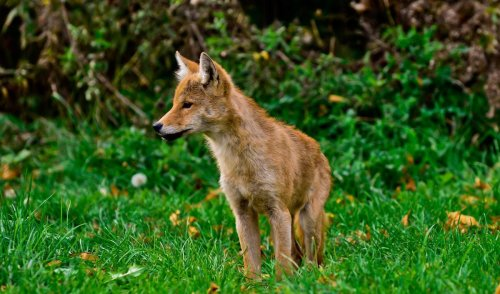 Coyotes are already among us. In fact, they may be Toronto's most successful urban invader since the squirrel