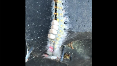 'That thing leaped!!!' Fuzzy, jumping bug looks unassuming — but don't touch it