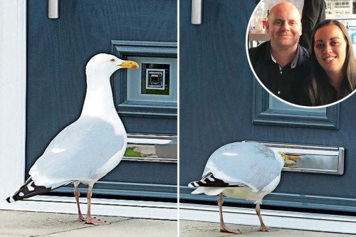Salesman shattered after seagull wakes him at 5am every day bashing on his door