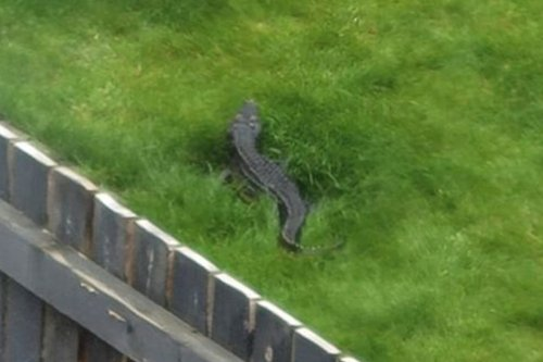 Woman stunned after seeing 4ft 'crocodile' lurking in Yorkshire garden