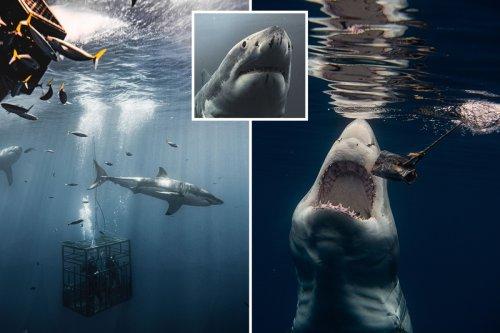 Monstrous great white shark flashes razor-sharp teeth in stunning pics