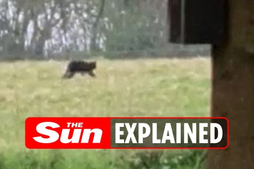 Big cat sightings: Where have they been spotted in the UK and what are the latest theories?