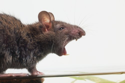 Giant rats invading homes through toilets with 'brave' sparking terror