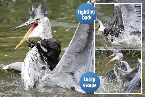 Hungry mink sinks teeth into heron's neck — but the bird fights back