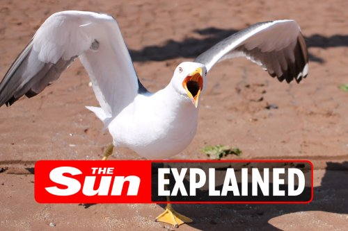 Why are seagulls so noisy?
