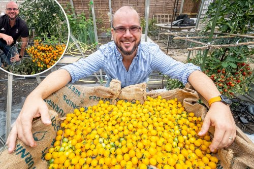 Gardener shatters world record by growing 839 tomatoes on a single stem
