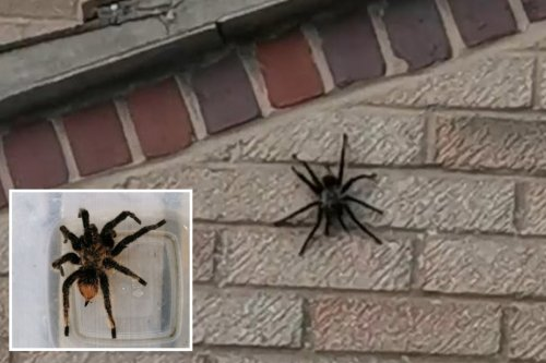 Humongous escaped TARANTULA spotted crawling up wall by shocked neighbour