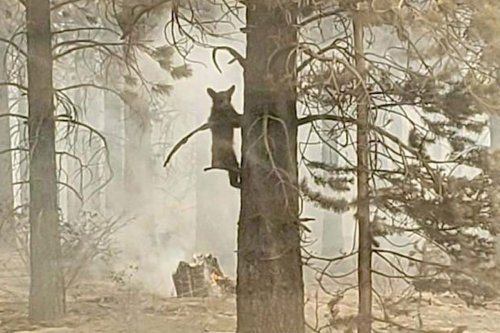 Heartbreaking moment bear cub seen trapped in wildfire as forests destroyed
