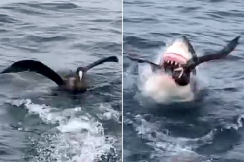Great White shark swallows bird whole as it bobs on water unaware of danger
