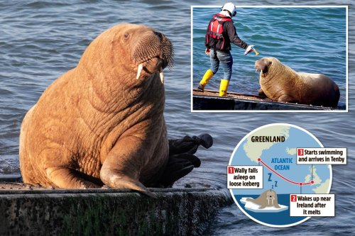 How Wally the walrus floated to Wales on an iceberg and melted a town's heart