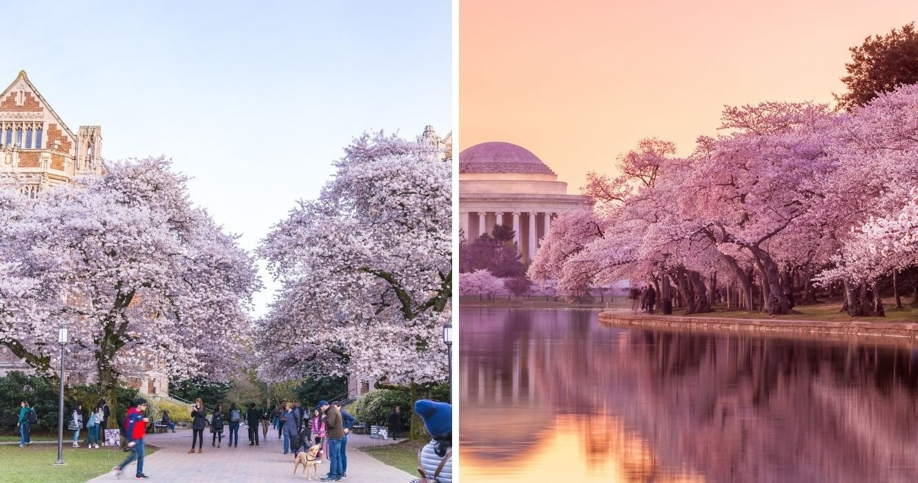 The Best Places To See Cherry Blossoms In The U.S. (If You Can't Go To Japan)