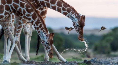 La natura ringrazia i giochi di Sophie La Girafe