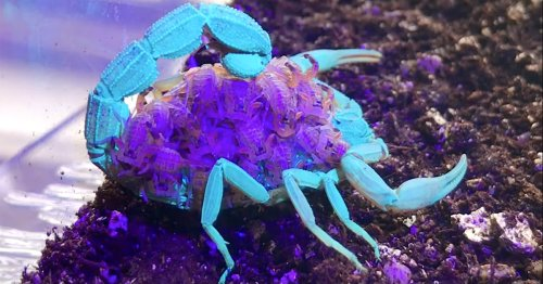 A Scorpion and Her Babies Emit a Fluorescent Blue and Purple Glow Under UV Light
