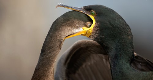 Shots of Snuggling Swans and Ravenous Shags Best the 2021 Bird Photographer of the Year Contest