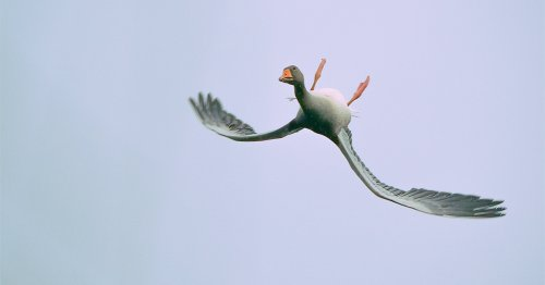 A Serendipitous Photo Captures an Acrobatic Goose Contorting Its Body to Fly Upside Down