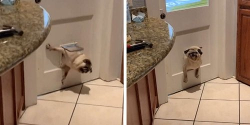 Chubby Pug Gets A Wake-Up Call After Failing To Fit Through The Pet Door