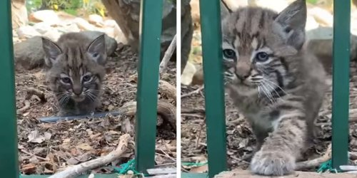 Watch This Adorable Baby Bobcat Step Out To Bravely Explore The World