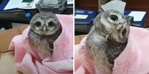Adorable Baby Owl Falls From His Nest And Finds Himself In An Office