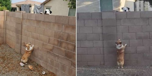 Woman Catches Her Little Dog Having Secret Meetings With The Neighbor