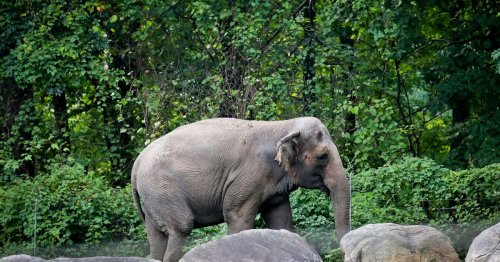 Happy the Elephant Is Self-Aware and Complex, But Should She Have the Same Rights as a Person?
