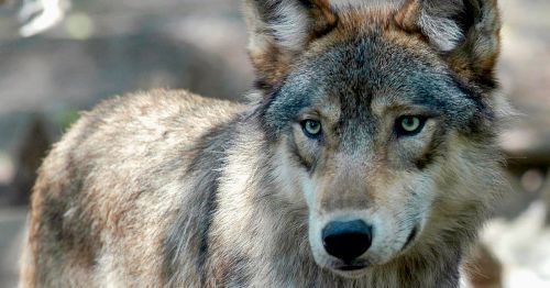 Hunters Kill 20% of Wisconsin's Wolf Population in Just 3 Days of Hunting Season