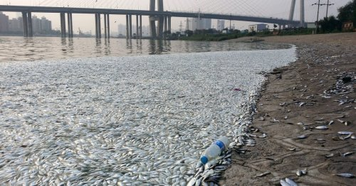 Thousands of Dead Fish Wash Up on Tianjin's Shores, a Week After the Blasts