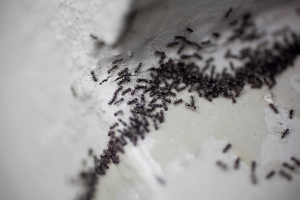 How to get rid of ants in the house, kitchen and garden