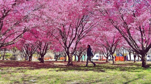 12 gorgeous photos of cherry blossoms in NYC right now