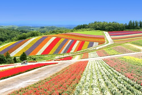In photos: the flower fields at Shikisai-no-oka in Hokkaido are now blooming