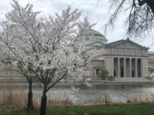 This might be the last weekend to see cherry blossoms in Jackson Park
