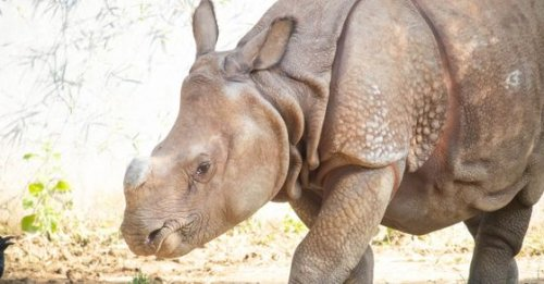 From zero to 48%, Rhino population in Assam's Manas National Park sees massive jump in 15 years