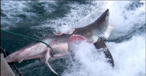 Two great white sharks bite giant chunks off each other in one savage battle, video is viral