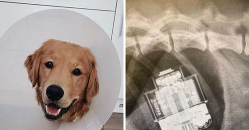 Golden retriever swallows AirPods mistaking it to be 'treats', comes out 'without a scratch' after surgery