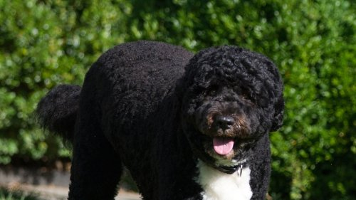 The Obamas Family Dog Bo Dies at 12 ... After Cancer Battle