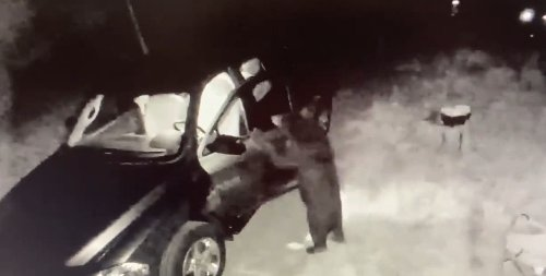Irres Video: Bär beweist sich als Autoknacker