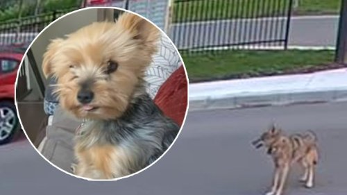Watch Hero Yorkie Save Young Girl From Coyote Attack