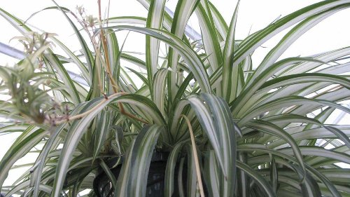 Spring can make houseplants unruly, so repot and prune them