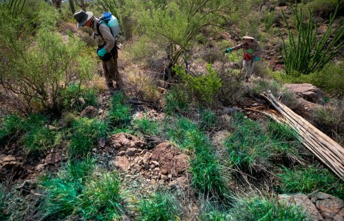 Buffelgrass battle: What's needed to make sure weeds don't win at saguaros' expense