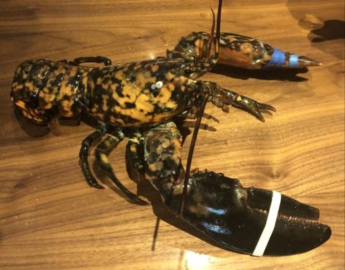 One of the rarest lobsters in the world turns up at Manassas Red Lobster