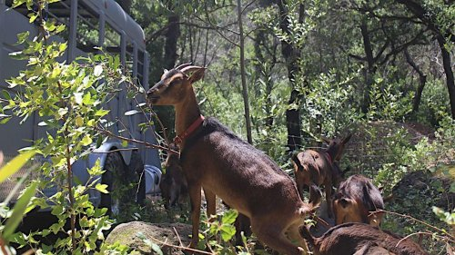 Goat herd to tame underbrush that feeds Napa Valley wildfires